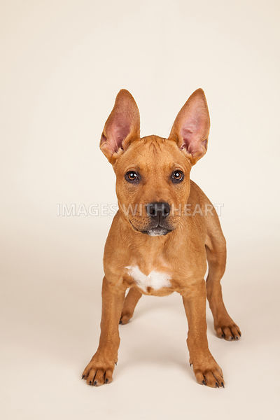 Puppy full body on tan background