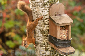 Red squirrel on a silver birch tree close to a bird feeding box containing nuts.
