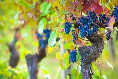 Vineyard Grapes Ready for Harvest