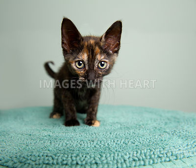 Closeup of a Tortoiseshell kitten on a green background
