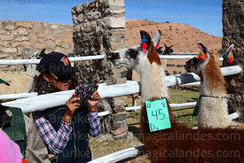 Visitor taking photo of llama that has been selected to take part in competition with her smartphone, Curahuara de Carangas, Bolivia