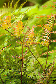 Attadale, Strathcarron, Scotland. Assorted ferns