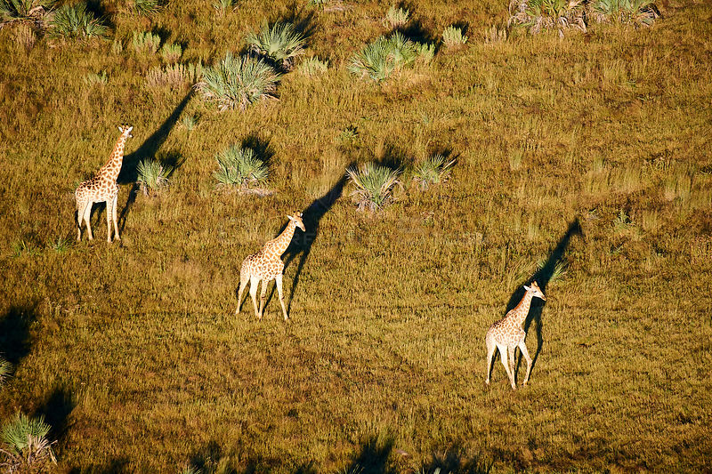 Aerial view of Giraffe group running (Giraffa camelopardalis angolensis) with shadow at sunrise, Okavango delta, Botswana, Africa