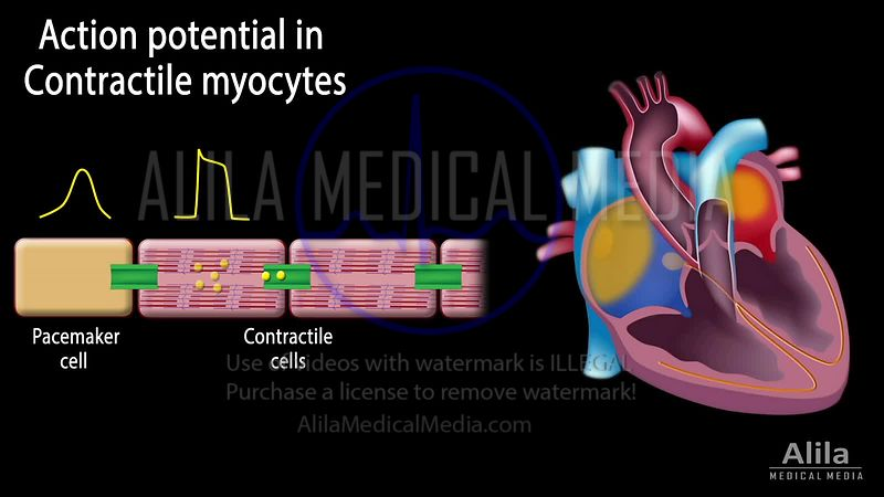 Potentiel d'action cardiaque, animation en Anglais, partie 2 - Myocytes contractiles