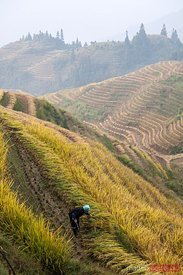 Worker of Zhuang etnicity on rice paddy, China