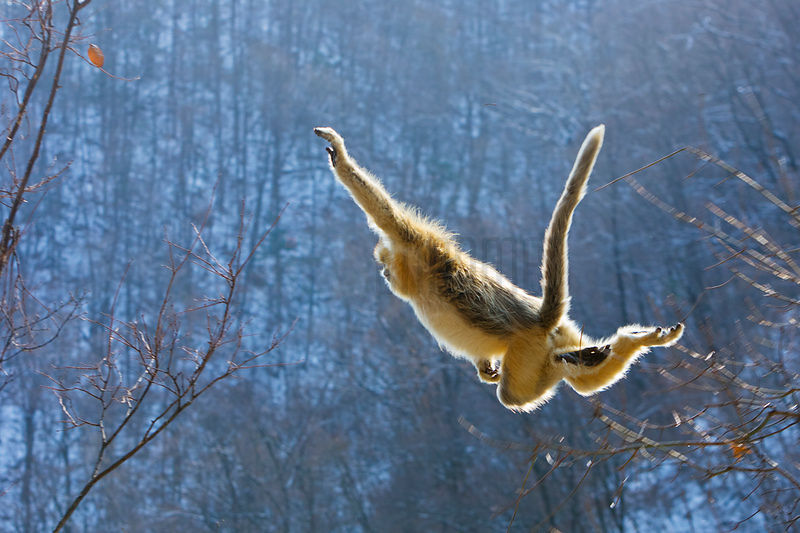 Golden Monkey Jumping From Tree