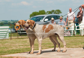 Cottesmore Whopper and Baxter, Best Couple Entered Dog Hounds, The Blaston Hound Show 2010
