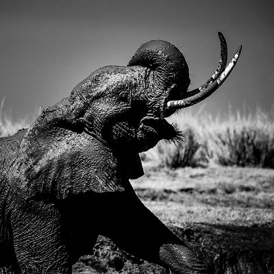 9790-Elephant_with_mud_Laurent_Baheux