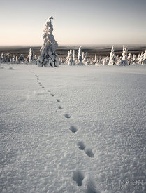 Animal tracks in snow