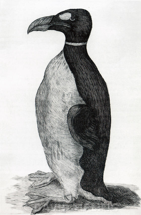 Only known illustration of a Great Auk drawn from life, Ole Worm's pet received from the Faroe Islands. which was figured in his book Museum Wormianum..Date.1655.