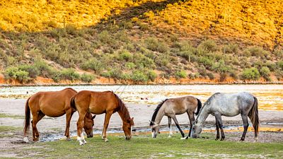 Four Wild Horses Grazing Along Arizona River