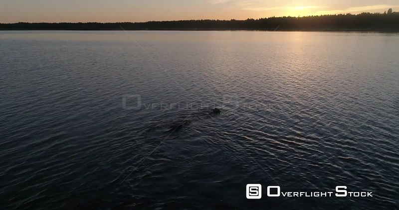 Man diving in the sea, aerial view following a male swimming outside the coast of Hanko, on a sunny summer evening dusk, Hango, Uusimaa, Finland