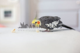 Cockatiel bird eats popcorn on a bed