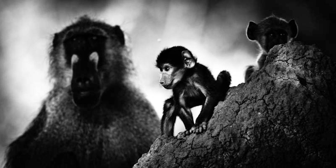 7326-Baby_baboon_with_an_adult_Botswana_2009_Laurent_Baheux
