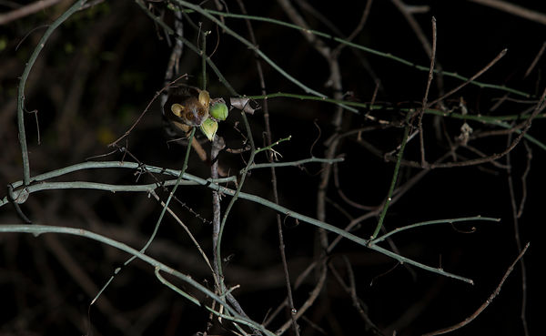 Golden Brown Mouse Lemur, Anjajavy