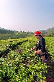 Red Dao woman working in green tea plantation, Vietnam