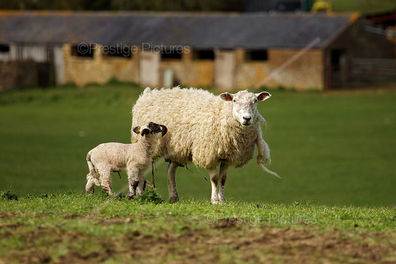 Ewe and her Lamb in Oxfordshire Field