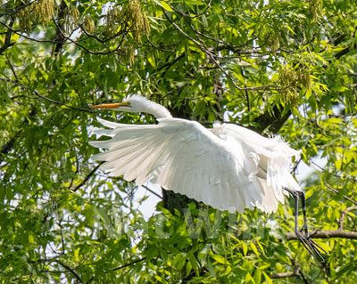 Canyon_Farm_Egret-Canyon_Farm_Egret-2-May_15_2018-May_15_2018-