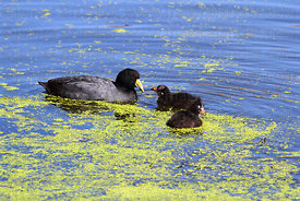 Adult Andean coot (Fulica ardesiaca) and young swimming in duckweed (Lemnoideae)
