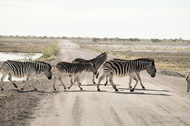 Zebras crossing road