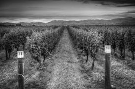 Blenheim Vines
