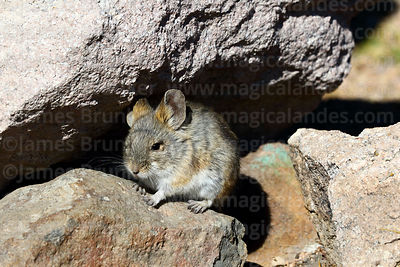 Rodents and Lagomorphs photographs