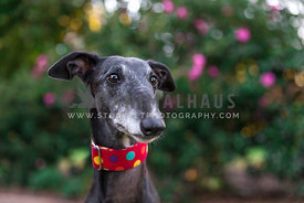 greyhound looking into the distance in front of flower bush