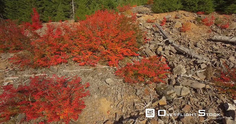 Red Vine Maple In Autumn Colors Mt Hood National Forest Oregon