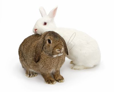 A brown and a white rabbit isolated on White