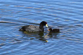 Adult Andean coot (Fulica ardesiaca) and young