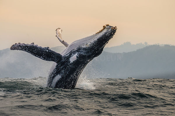 Breaching humpback whales in Port saint johns