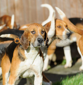 Belvoir foxhounds - The Belvoir Hunt at Hose