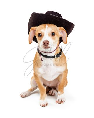 Little Dog Wearing Cowboy Hat