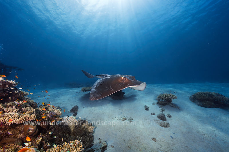 Underwater photo Moheli island - Cowtail stingray