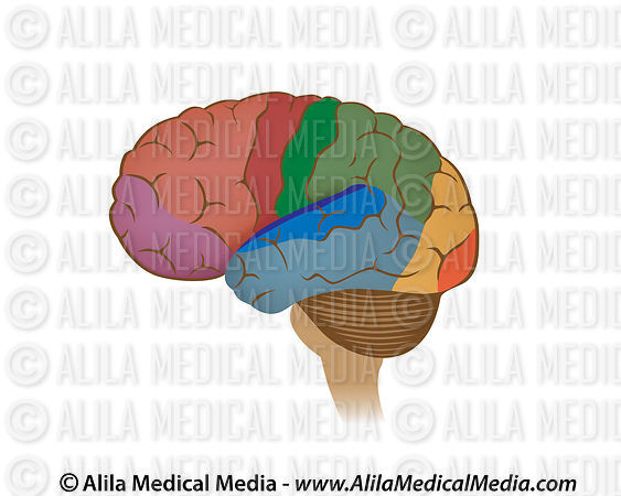 Alila medical media functional areas of the brain unlabeled functional areas of the brain unlabeled diagram ccuart Images
