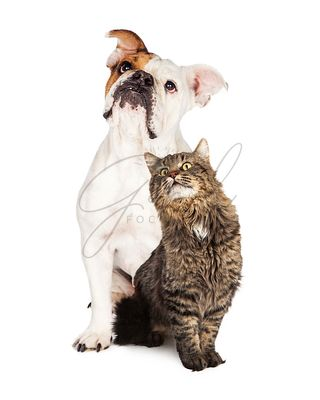 Tabby Cat and Bulldog Together Looking Up