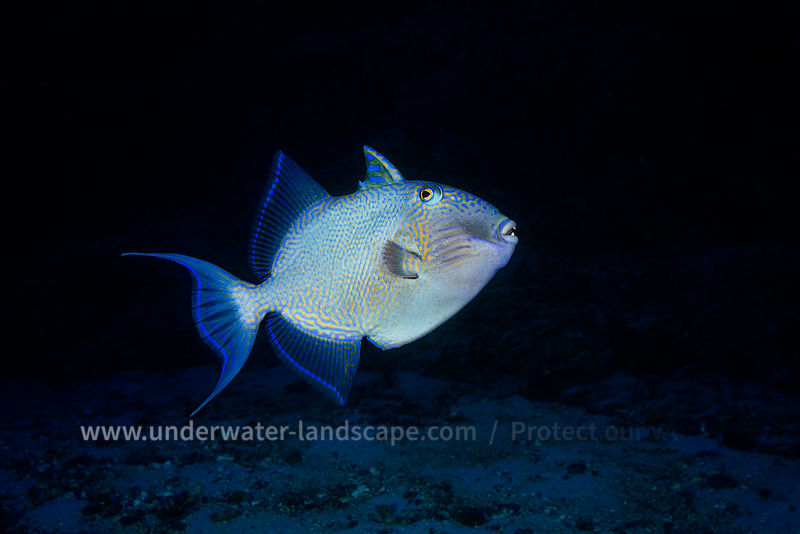 Blue triggerfish encounter during a deep dive