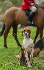 Belvoir hounds at the meet - The Belvoir Hunt at Croxton Park 23/2