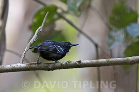 White-flanked Antwen Myrmotherula axillaris male in Darién National Park Panama