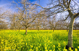 Walnut Orchard with Mustard #7