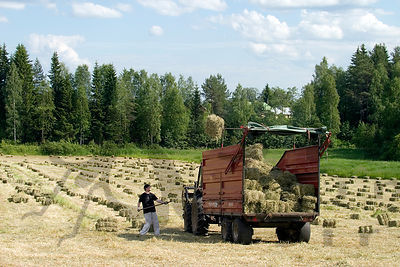 Collecting hay for the cattle