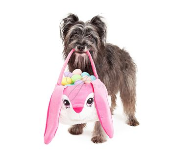 Pyrenean Shepherd Dog Deliering Easter Eggs