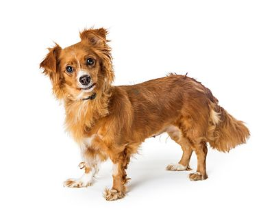 Small Brown Crossbreed Dog Standing Looking Forward