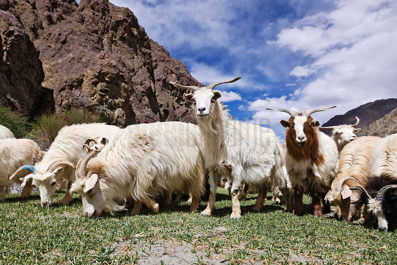 Flock of Pashmina Goats