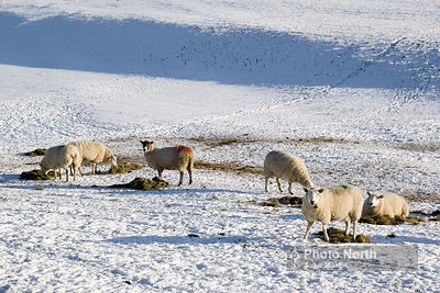 SHEEP 87A - Sheep in the snow