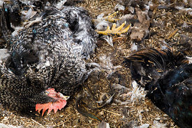 Cocks Killed by Lynx in Chicken Coop