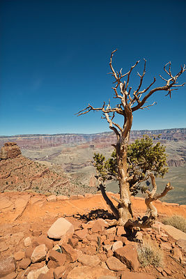 Trees Watch Over the Grand Canyon (V)