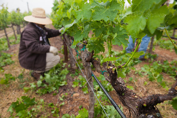 Farmer leafing grapevines to open the canopy for air and sunlight