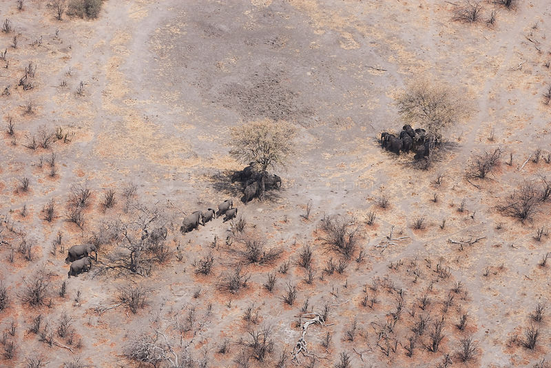 Aerial view of African elephants (Loxodonta africana) find shade under trees to avoid midday sun, during a drought. Northern Botswana.  Taken on location for BBC Planet Earth series, October 2005