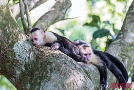 White headed capuchin monkeys, Manuel Antonio National Park, Costa Rica